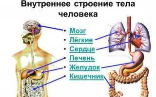 Внутреннее строение органов человека