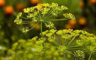 Лечение цистита семенами укропа